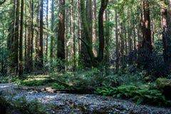 Monumento de Muir Woods National Imagem de Stock Royalty Free