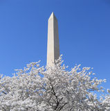 Monumento de Washington com flores de cereja Foto de Stock Royalty Free