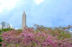 Monumento de Washington na flor da cereja Imagens de Stock