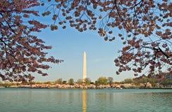 Monumento de Washington quadro nas flores de cereja Foto de Stock Royalty Free