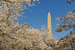 Monumento de Wasington enmarcado por los flores de cereza Imágenes de archivo libres de regalías