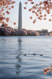 Monumento di Cherry Blossoms Framing The Washington Fotografie Stock