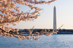 Monumento di Cherry Blossoms Framing The Washington Fotografie Stock Libere da Diritti