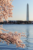 Monumento di Cherry Blossoms Framing The Washington Fotografia Stock