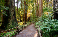 Monumento di Muir Woods National Fotografia Stock