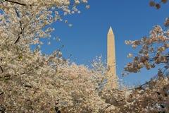 Monumento di Wasington incorniciato dai fiori di ciliegia Immagini Stock Libere da Diritti