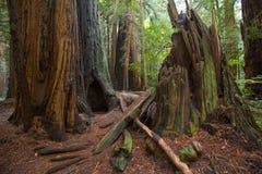 Monumento nacional das madeiras de Muir perto de San Francisco em Califórnia, U foto de stock royalty free