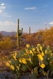 Monumento nacional del Saguaro en la puesta del sol Foto de archivo libre de regalías