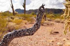 Monumento nacional do cacto da tubulação de órgão, o Arizona, EUA Fotos de Stock Royalty Free
