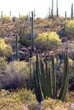 Monumento nazionale del cactus del tubo di organo fotografia stock libera da diritti