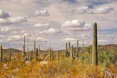 Monumento nazionale del cactus della canna d'organo, Arizona, U.S.A. Immagini Stock
