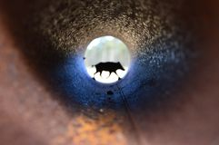 Monumento selvagem do porco em naturepark de hoge Veluwe fotografia de stock