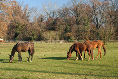 Monza park: horses at pasture Stock Images