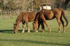 Monza park: horses at pasture Royalty Free Stock Photo