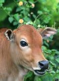 moo 2 коров Стоковые Фотографии RF