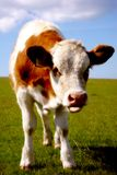 Moo Royalty Free Stock Image