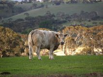 Moo cow. A cow in Hahndorf South Australia, looking at the camera taking a slight interest in it Royalty Free Stock Photo