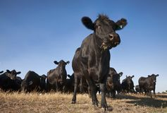Moo Cow Herd Nerd fotografia de stock royalty free