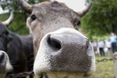MOO de vache Photo stock