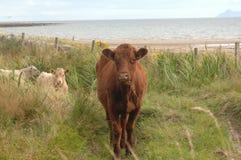 MOO-Kühe Stockbild