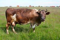 Moo koe Stock Foto