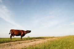 Moo van de koe Stock Foto's
