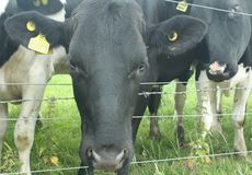 Moo Are You? royalty-vrije stock afbeelding