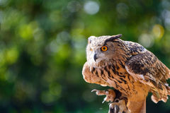 In the mood of attack - Deadly Big Horned Owl Royalty Free Stock Images