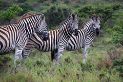 In the mood. A group of zebra's grassing in Kap River Nature Reserve, South Africa Royalty Free Stock Image
