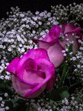Mood lighting on Roses. Studio style lighting on rose bouquet royalty free stock images