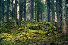 Mood primeval forest Royalty Free Stock Images