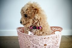 Moodle puppy dog sitting in a basket royalty free stock image