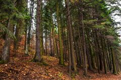Moody fir tree forest at fall. Rusty leaf on the ground.  Royalty Free Stock Photography