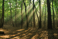 Moody forest. Sunbeams falling through the trees in a forest Stock Image
