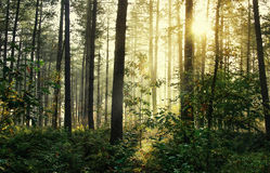 Moody forrest with sunlight. Shining through the trees creating a mystical scene royalty free stock image