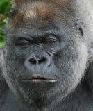 Moody Gorilla stock image