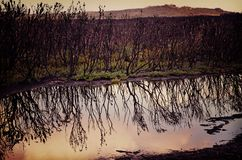 Moody blackened landscape after bushfire. Moody landscape of blackened trees and green undergrowth regenerating after a bushfire, reflected in a pond after rain Royalty Free Stock Images