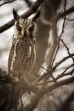 Moody_owl immagine stock libera da diritti