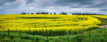 Moody Panoramic scene of a golden Canola field with a dramatic sky stock images