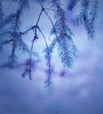 Moody pine branches Stock Photo