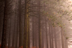 Moody pine woods Stock Images