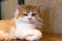 Moody ragdoll cat. With angry look after waking up Royalty Free Stock Photos