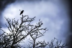 Single Crow in a tree Royalty Free Stock Image