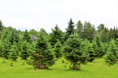 Moody Tree Farm. Balsam Fir Christmas tree farm, Moody Tree Farm, located near Saranac Lake, New York stock images