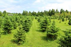 Moody Tree Farm. Balsam fir Christmas trees at Moody Tree farm located near Saranac Lake, New York royalty free stock photo