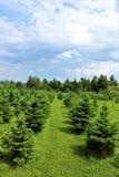 Moody Tree Farm. Balsam fir Christmas trees at Moody Tree farm located near Saranac Lake, New York Stock Images