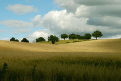 Moody trees on a sky line. Moody trees on a skyline with cornfield stock photography