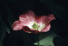 Moody Tulip in Shadow. A deep purple tulip in shadow and light - Keukenhof gardens, the netherlands royalty free stock photo
