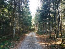 Moody view of autumn`s fir forest road royalty free stock photo