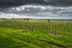 Moody Vineyard Royalty Free Stock Photography